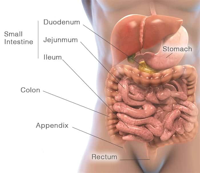 Gut diagram of the small intestine, stomach, colon and rectum