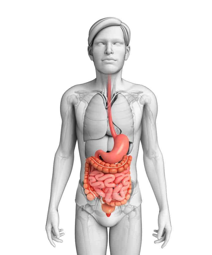 Gut health diagram showing the digestive tract to the lower intestines